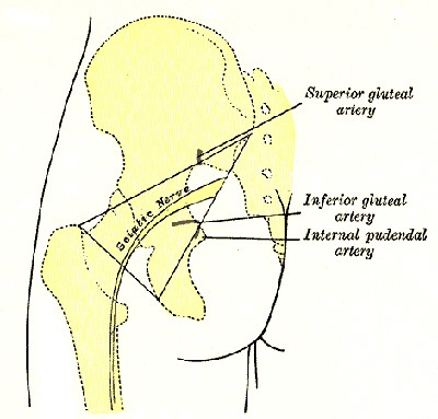 sciatic nerve - sciatica